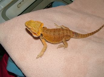 Samice  - Red/orange hypo het trans x sandfire/yellow dragon - Agama vousatá