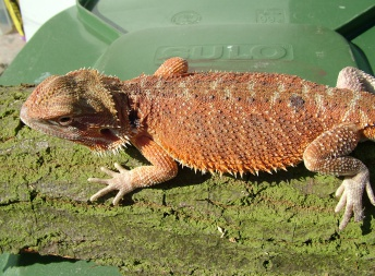 Samec -  Red orange het HYPO - Holand - Agama vousatá