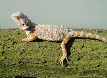 Samice - Citrus/orange hypo - Agama vousatá