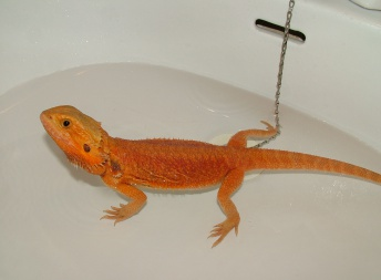 Samice  - RED Hypo Trans - Agama vousatá