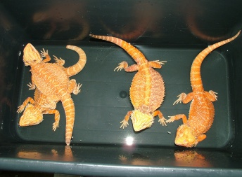 Samice -  Red orange het HYPO - Holan - Agama vousatá
