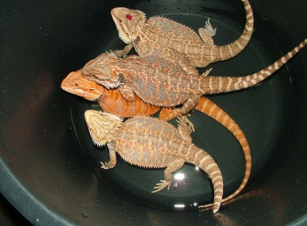 Samice  - Orange Pastel Tiger - Agama vousatá